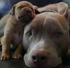 Pit Bull baby with Mama #pitbull