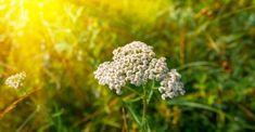 Bude, Dandelion, Health, Flowers, Plants, Chemistry, Health Care, Dandelions, Plant