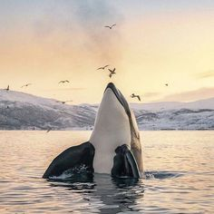 Male Orca in Tromsoe, Northern Norway By: Tommy Simonsen