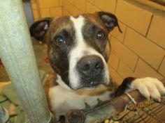 Petfinder  Adoptable | Dog | Pit Bull Terrier | New Philadelphia, OH | Bones