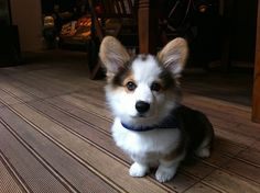 Corgi puppy, such a beautiful little guy