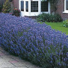 Lavender 'Munstead' has a subtle blue-green coloring and sweet fragrance. It reaches 12 to 18 inches high and 18 to 24 inches wide, it boasts 2 1/2 inch, linear, downy leaves on strong stems. The leaves first open white, then turn a pale gray-blue-green color. Stalks of lavender flowers grow up to 12 inches tall.