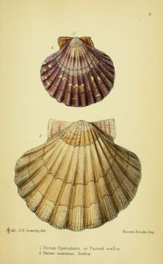 Pecten. The edible mollusks of Great Britain and Ireland : with recipes for cooking them London :Reeve & co.,1867. Biodiversitylibrary. Biodivlibrary. BHL. Biodiversity Heritage Library