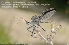 He looks like something from Jurassic Park. He's a Wheel Bug and one of the 'good guys', a predator of evil weevils and and plant chomping pests. Just don't handle him...that 'fang' can inflict a painful bite!