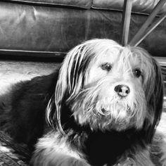 Huey. My favorite #rescuepup #handsomedog #dogsofinstagram