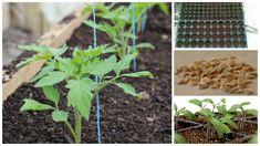 Producerea răsadurilor de roșii reprezintă o variantă tot mai utilizată de legumicultori, fie că produc pentru consum propriu sau piață, având în vedere prețul tot mai mare al materialului Plantar, Outdoor Structures, Solar, Pictures, Tomatoes, Life, Lawn And Garden, Nice Asses