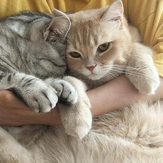 Want more cute kittens? Animals And Pets, Baby Animals, Funny Animals, Cute Animals, Animals Images, Pretty Cats, Beautiful Cats, Cute Kittens, Cats And Kittens