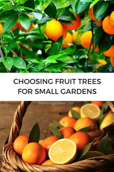 Want to grow fruit in a small garden? Dig into these tips to help you choose suitable fruit trees and containers; consider your space, sun and climate + pollination to avoid mistakes. | The Micro Gardener