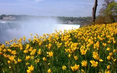 Queen Victoria Park, Niagara Falls, Canada - Yellow flowers with Horseshoe Falls in background