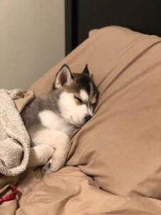 siberian husky puppy go to Delilah scarlet to find more - Dogs - Puppies Husky Mix, Cute Husky Puppies, Siberian Husky Puppies, Husky Puppy, Siberian Huskies, Lab Puppies, Cute Baby Husky, Huskies Puppies, Pomeranian Husky