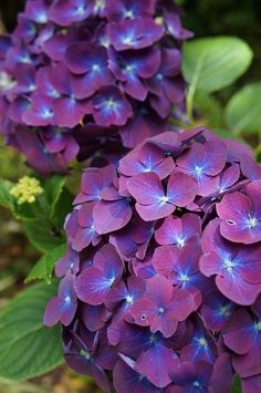 Hydrangea macrophylla | Karl Gercens | Flickr
