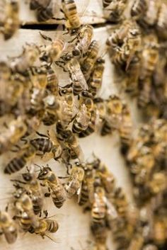 Why are some allergic to bees and others are not? Draw your own conclusions.