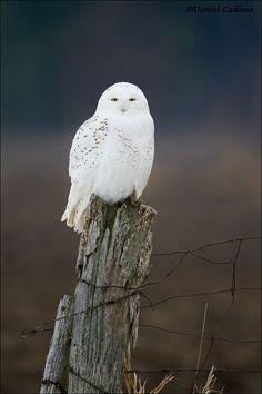 Beautiful Snowy Owl - Ottawa, Canada