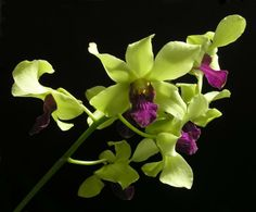 green orcids | ... Pride - Orchid Board - Most Complete Orchid Forum on the web
