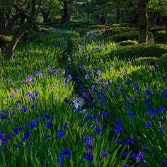 兼六園 園内を巡る曲水に咲く杜若 Kanazawa, Scenery, Flower, Plants, Landscape, Plant, Paisajes, Flowers, Nature