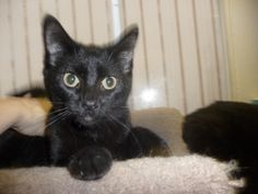 Toby URGENT is an adoptable Domestic Short Hair-Black Cat in Clinton, IL. **THIS PET IS AT THE SHELTER** UPDATE: 'Toby' is still waiting for his forever home. He along with several other's at the shel...