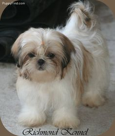 Shih Tzu Pictures - My pup is a Shichon (1/2 Bichon 1/2 Shih Tzu) But boy, she sure looks like this one in body style