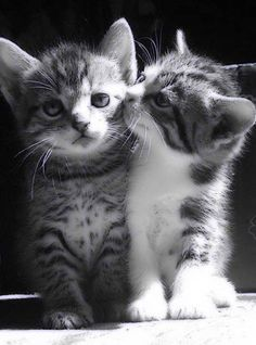 12 {couples} of cats very in love and absolutely adorable – … - Katzenrassen Beautiful Cats Cute Kittens, Kittens And Puppies, Ragdoll Kittens, Bengal Cats, Cute Baby Animals, Animals And Pets, Funny Animals, Animal Memes, Photo Chat