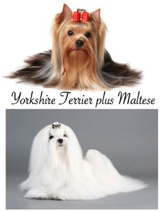 Morkies - The best of both worlds!