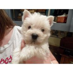 Westie pup. I'm going to bet one some day.
