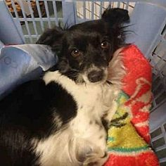 Chatsworth, California - Chihuahua. Meet JAZZMIN, a for adoption. https://www.adoptapet.com/pet/20254428-chatsworth-california-chihuahua-mix