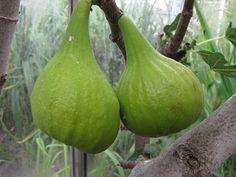 Vijg Ficus, Fruit, Eggplant, Diana, Vegetables, Balcony, Veggie Food, Fig, Vegetable Recipes