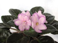 Kev-s Heavenly Star Flowers, Foliage, Bloom, Orchids, Houseplants, Plants, African Violets