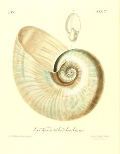 1764 - v. 2 ptie 4-6 - Les delices des yeux et de l'esprit, ou, Collection generale des differentes especes de coquillages que la mer renferme / - Biodiversity Heritage Library