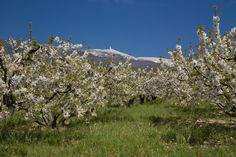 #Springtime on the foothills of the Mont-Ventoux ©Alain Hocquel #Provence #Vaucluse