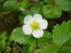 Flor de la maduixera (Fragaria vesca)