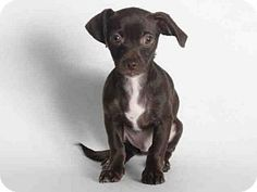 San Pedro, CA - Dachshund/Chihuahua Mix. Meet A1559100, a puppy for adoption. http://www.adoptapet.com/pet/13093790-san-pedro-california-dachshund-mix