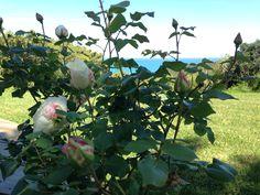 Les roses de la villa Kaioa en mai