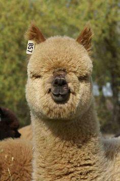Alpaca. This is a cute looking alpaca face!