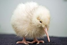The world's only known white kiwi has survived surgery to remove stones from her gizzard, reports a New Zealand Wildlife Centre. (Manukura, the little white kiwi, is not an albino but a rare colour. Animals And Pets, Baby Animals, Cute Animals, Unique Animals, Baby Kiwi, Kiwi Bird, Flightless Bird, Tier Fotos, Bird Pictures