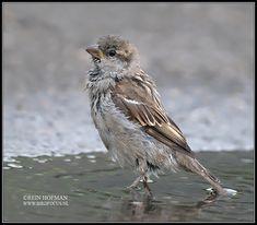 huismus Nikon D70, House Sparrow, Birds, Animals, Sparrows, Animales, Animaux, Bird, Animal