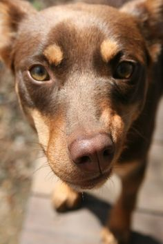 If we got another dog it would definitely be another Australian kelpie just like Harlee!