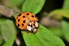 #arthropod #biology #bokeh #bug #close up #entomology #flying insect #harlequin lady beetle #harmonia axyridis #insect #lady beetle #ladybird #ladybug #leaf #macro #multicolored #multivariate #nature #orange bug #pu