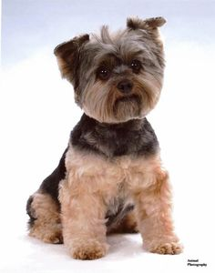 Yorkie Haircuts Pictures, You need to regularly bathe, shampoo, condition and brush them, and that is only to maintain their fur. Their nails also need to