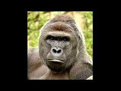 Gorilla-Zwischenfall in Cincineti: Keine Verfahren gegen Mutter