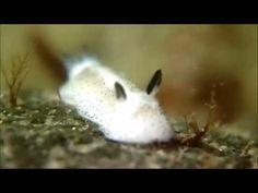 【ふわふわ】衝撃のかわいさ「海のうさぎ」ゴマフビロードウミウシ:DDN JAPAN