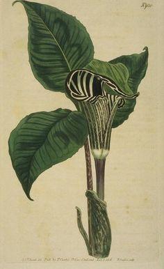 Zebra-flowered Arum