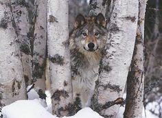 Stretched Canvas Print: Mountain Ranger Canvas Art by Art Wolfe : Stretched Canvas Prints, Framed Art Prints, Framed Wall, Wolf Poster, Award Winning Photography, Painting Edges, Cute Animals, Wild Animals, In This World