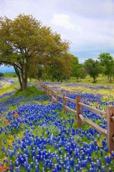 Texas bluebonnets - 21 Best places to visit in spring break in the US in 2019 Beautiful World, Beautiful Places, Beautiful Pictures, Landscape Photography, Nature Photography, Texas Bluebonnets, Texas Hill Country, Country Blue, Blue Bonnets