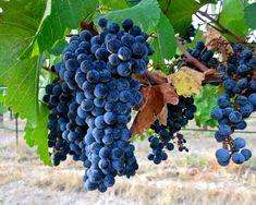Zweigelt in Mokelumne Glen Vineyard:  an Austrian crossing (St. Laurent x Blaufranksich) producing moderately weighted yet firm, spicy red wines