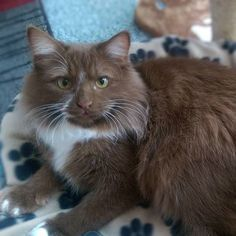 Sibirische Katzen Babies, Neva Masquerade/Siberian YellowPress-Wurf cat, poes, kedi, katze