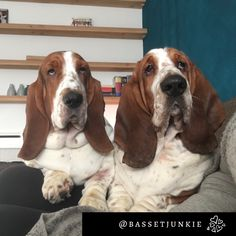 Vote please and make is win this contest  Bekijk mijn foto en stem, zo kan je mij helpen de NRC fotowedstrijd te winnen! #NRC #foto https://foto.nrc.nl/Picture/view/5381? #bassethound #photocontest