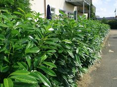 1. Prunus Herbergii - laurbær. VIntergrønn hekk mot Gerni. - 15 stk