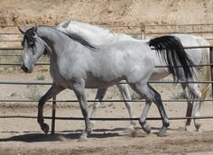Shagya-Arabian horses for sale by the Shagya stallion Sterling Silver.