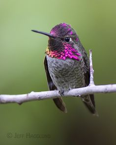 Anna's Hummingbird [Male] - Flickr - Photo Sharing!