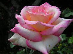 gifs de rosas amarelas - Pesquisa Google